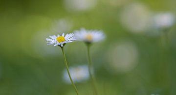Gänseblümchen von Ingrid Ronde