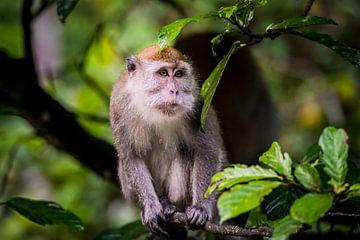 Makaak portret, portrait monkey van Corrine Ponsen