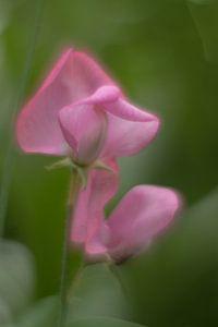 Lathyrus van ColorsofNaturePhotography Jeanet Groenewoud