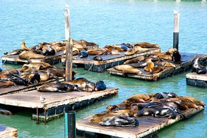Lions de mer, San Francisco, Californie