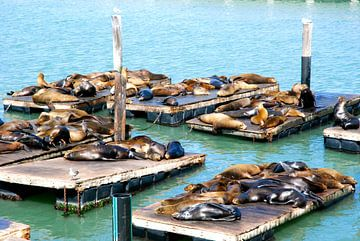 Lions de mer, San Francisco, Californie van Samantha Phung