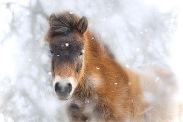 Ein Fohlen im Schnee von Wendy Tellier - Vastenhouw