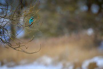Eisvogel von Andy van der Steen - Fotografie