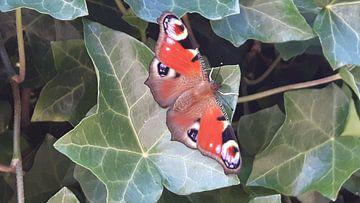 Vlinder van Ivana Luijten