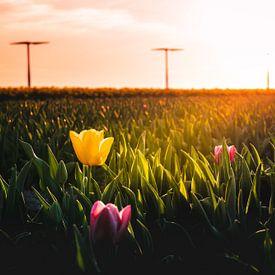 Tulpen en Windmolens van rosstek ®