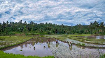 Reisfeld auf Sumatra ernten von Karin vd Waal