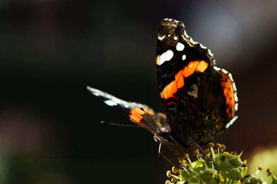 butterfly van Dirk van Egmond