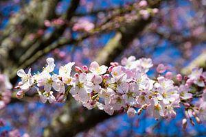 Pink blossom and blue sky van Ingrid de Vos - Boom