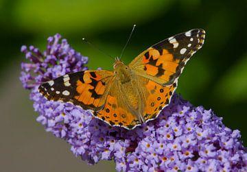Distelvlinder op vlinderstruik van Remco Van Daalen