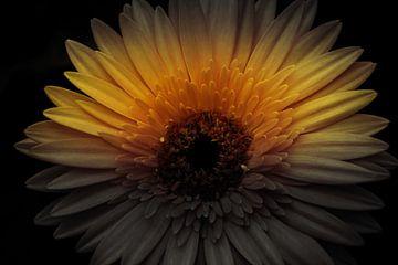 Gele gerbera in de schaduw van Stedom Fotografie