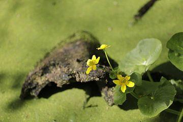 Gele dotterbloem op een stronk in een vijver van Cora Unk