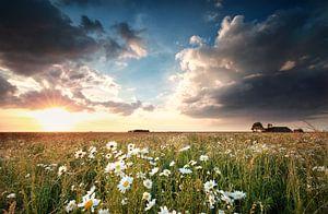 gold sunlight over chamomile field