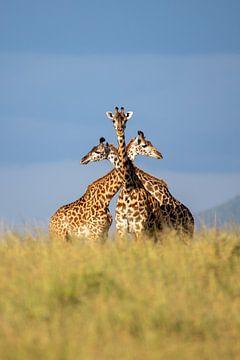Trois unités - girafes sur Sharing Wildlife