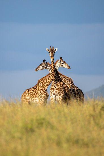 Drie eenheid - giraffen