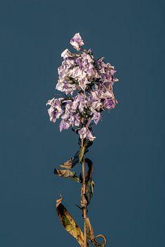 Purpura Flore (blau) von michel meppelink