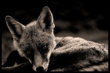 Fuchs in Monochrom von Humphry Jacobs