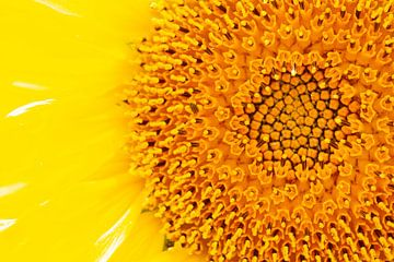 Sonnenblume von Wesley Poelman