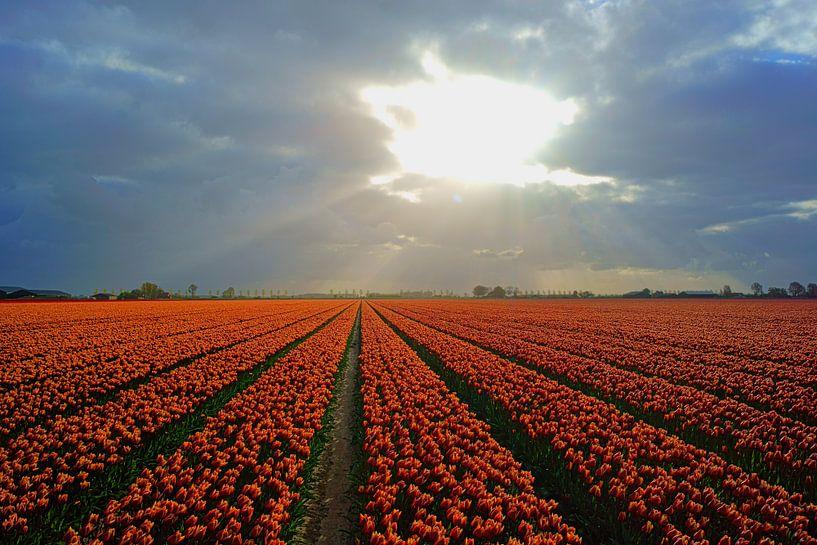 Bollenveld op Goeree-Overflakkee van Michel van Kooten