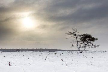 Kiefer auf die beschneiten Heide von @ GeoZoomer
