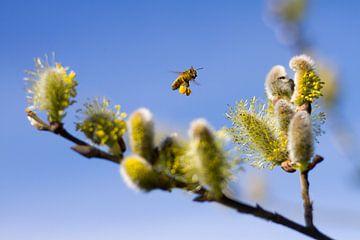 Honingbij met stuifmeel van
