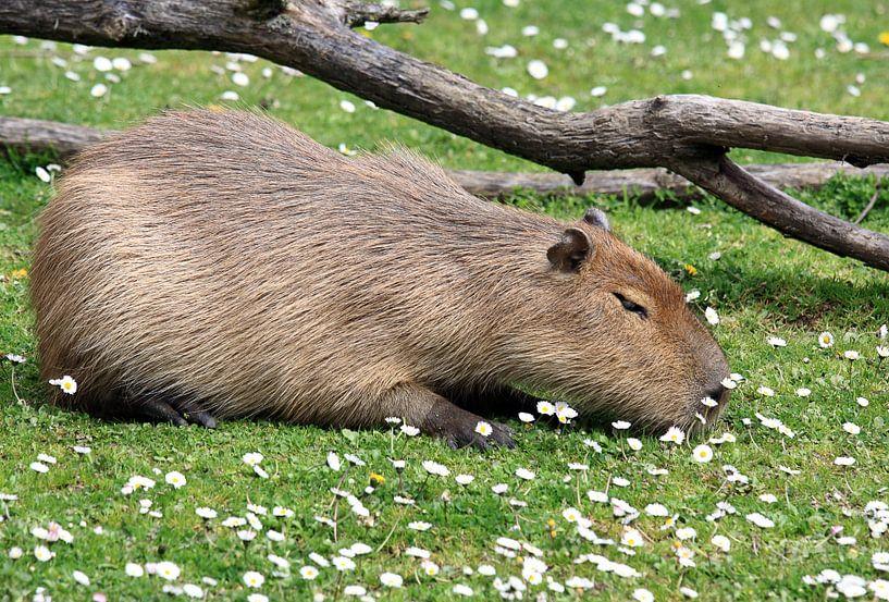Capibara in de zon van MSP Canvas