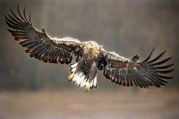 Seeadler beginnt mit der Landung. von Martina van Raad