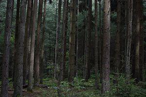 Naaldbos in de Ardennen, België van