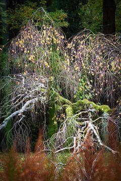 Mosbegroeide Berkenboom  van André Scherpenberg