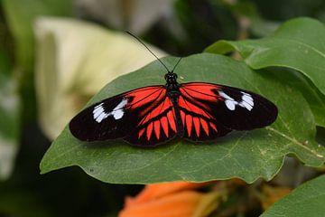 Schmetterling in schwarz, weiß und rot liegt auf einem Blatt. von Nicolette Vermeulen
