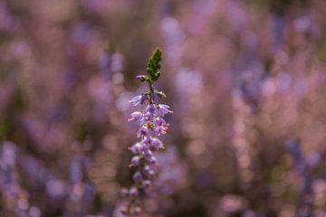 Violette Heide - Bokeh von PPS Fotografie