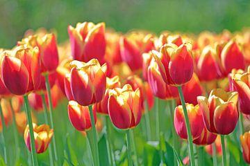 Rood gele tulpen in het veld von Ronald Smits