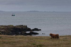 Schotse hooglander aan zee van