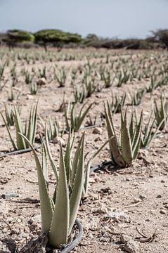 Aloe vera Pflanzen auf Aruba von Bianca Kramer
