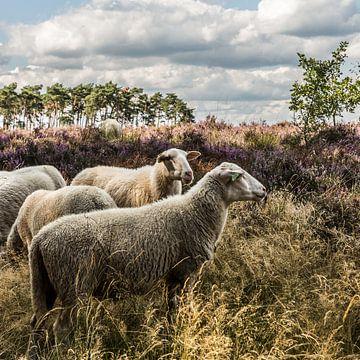 Schapen op de Lommelse Heide (B) van Martine Dignef