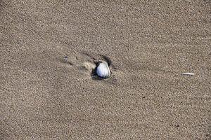Schelp in het strand van Peter van Weel