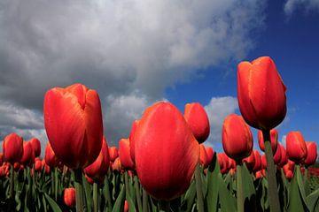 Tulpen in de wolken van