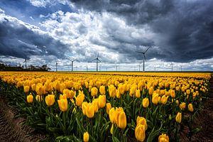 Tulpenveld in Espel