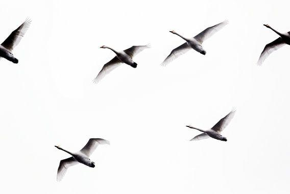 Zwanen in vogelvlucht (photo uncrop)