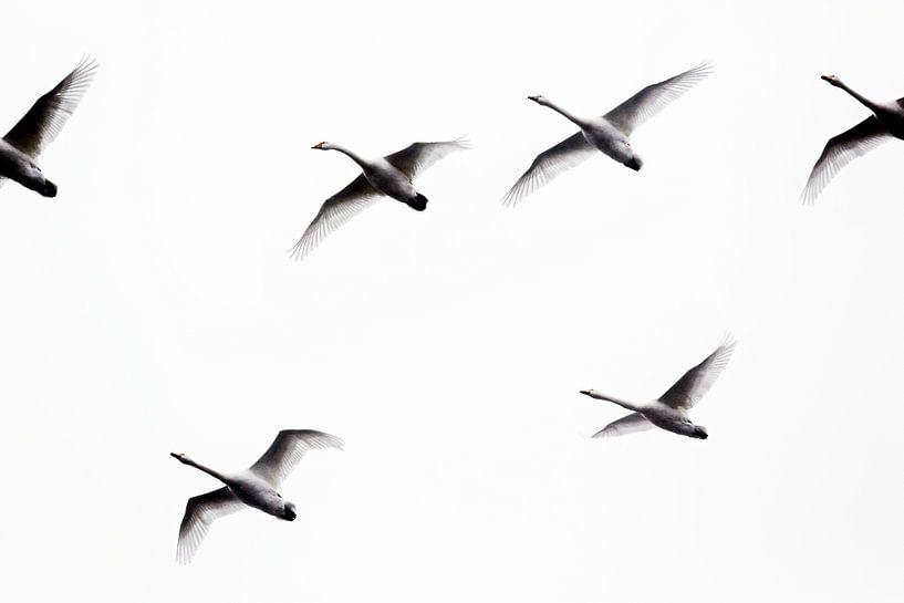 Zwanen in vogelvlucht (photo uncrop) van Jan Sportel Photography