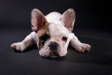 Mollie Franse Bulldog von LUNA Fotografie