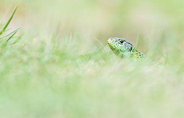 Zandhagedis in het groen van Danny Slijfer Natuurfotografie