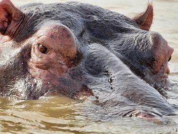 Voetpaard in Zuid-Afrika van HGU Foto