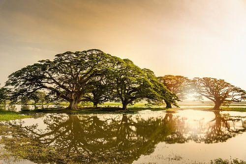 Sun rise,Rain Trees reflected in pond, Sri Lanka von Ruurd Dankloff