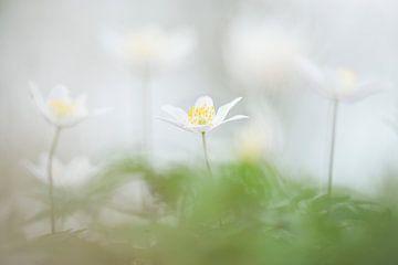 Bosanemonen / Blooming wild wood anemone flowers in the forest van Elles Rijsdijk