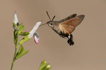 Zwevende Kolibrievlinder zuigt nectar uit de bloem von Rob Kuiper