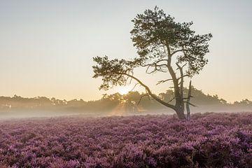 Sonnenaufgang violettes Heidekraut in Blüte, Veluwe, Niederlande von Sjaak den Breeje Landscape Photographer