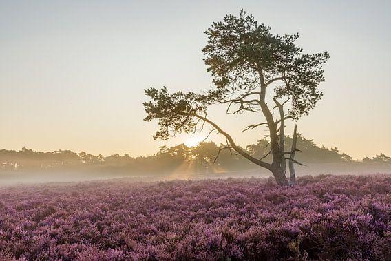 Zonsopkomst paarse heide in bloei, Veluwe, Nederland