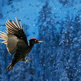 Zwarte Specht (Dryocopus martius) in vlucht van AGAMI Photo Agency