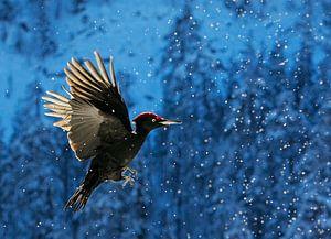Zwarte Specht (Dryocopus martius) in vlucht van