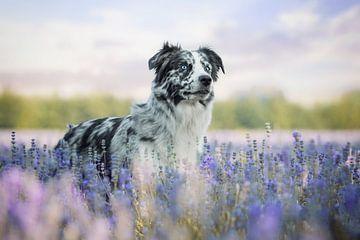Border Collie im Lavendel von Lotte van Alderen